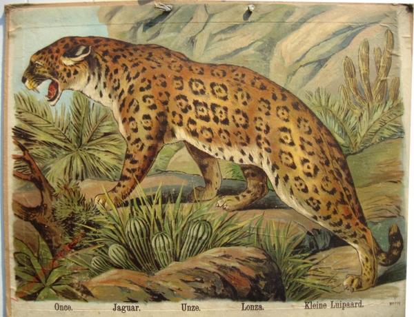 771 - Once, Jaguar, Unxze, Lonza, Kleine Luipaard